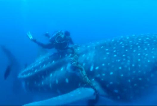 Дайверы Помогли Акуле