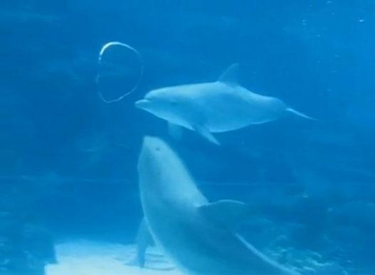 Дельфины Играют С Вихревыми Кольцами