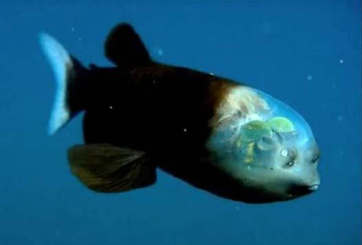 Чудо Природы - Рыба с Прозрачной Головой!!!