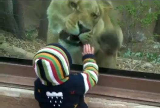 Лев в Зоопарке Пытается Съесть Ребенка