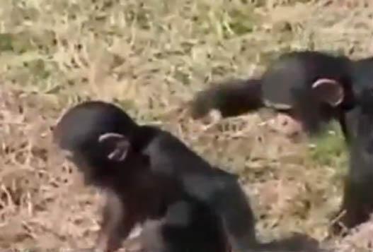Шимпанзенок-Хулиган