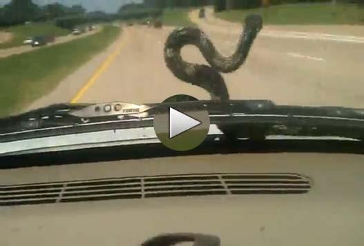Поездка Со Змеей На Капоте Автомобиля
